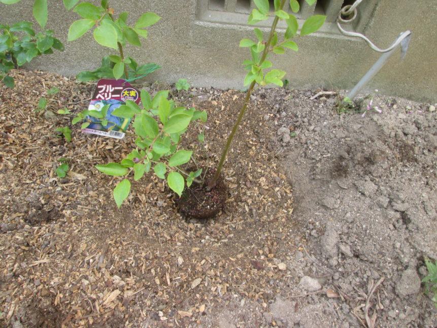 ブルーベリー(酸性土壌を好む植物)の栽培